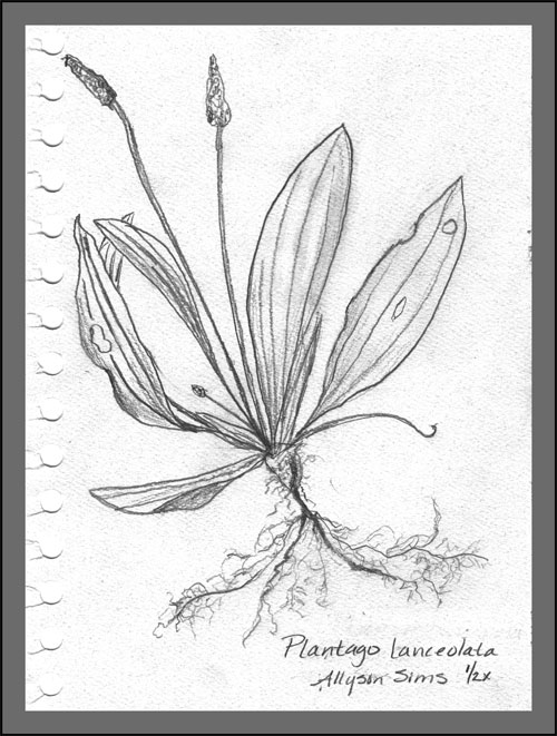 Plantago Major Drawing Plantago Lanceolata Drawn From