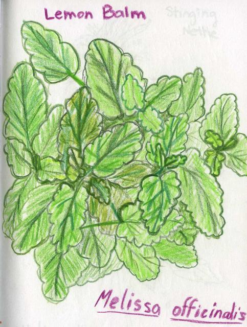 Melissa Officinalis Drawing Lemon Balm Drawn by