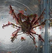 Archive Oregonia Gracilis Marinelife1011