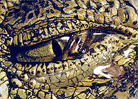 ARCHIVE - Reptiles - Comparative Physiology of Vision