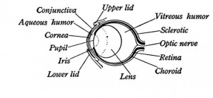 Archive amphibians comparative physiology of vision diagram of the amphibian eye ccuart Choice Image