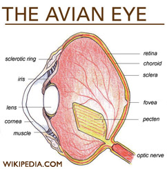 Archive birds comparative physiology of vision birds eyes ccuart Choice Image