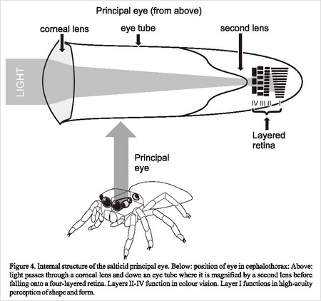 ARCHIVE - Spiders and scorpions - Comparative Physiology of Vision