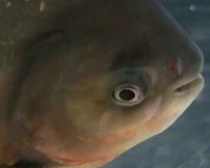 ARCHIVE - File:Red-bellied-pacu-eye.png - Comparative Physiology of ...